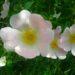 Rose selvatiche sui sentieri de 'La Bismantova'. Foto Monica Benassi