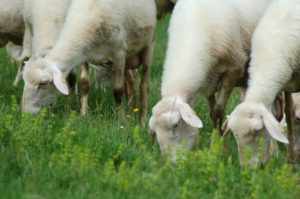 Gregge Pecore