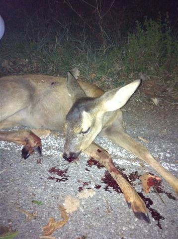 Animali ferito o uccisi lungo la strada che fare for Capriolo animale