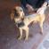 Cane da caccia smarrito a Ponterosso