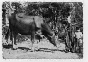 Verino è orgoglioso della sua mucca.