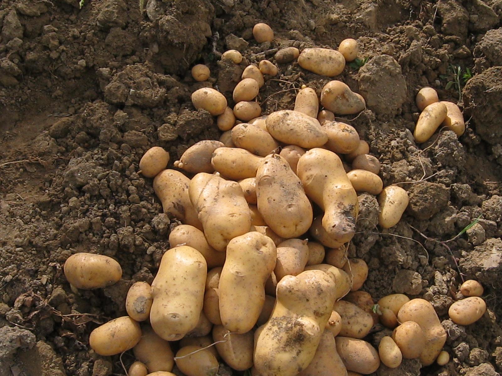 patata 003